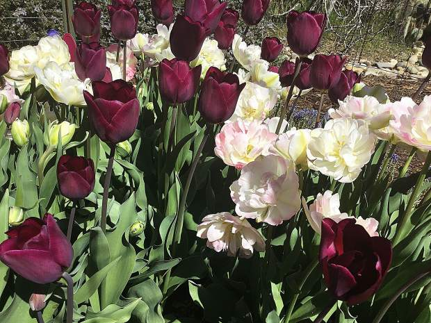 Second year tulips.