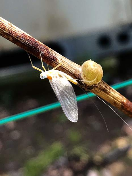 Mayfly on an old grape vine and deciduous trees bursting out in Condon Park.