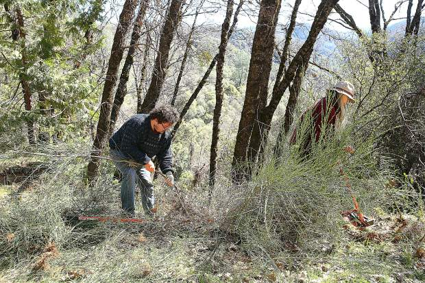 Grass Valley's Christopher Eaton joins in on the challenge, yanking a stubborn Scotch broom with his hands. Scotch broom is an invasive species and was likely introduced into the area used as a packaging material in the mid to late 1800s.