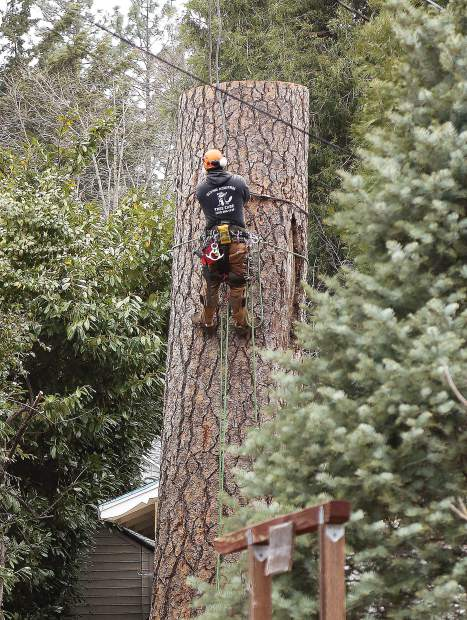 Tree climber Rick Savalin works to attach the cable of a crane on the final piece of tree being removed from the driveway of a home near Butler and Minnie streets last week. The large tree concerned the homeowners who had it removed due to damage on the side and base of the tree.