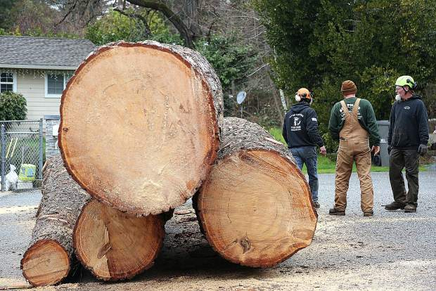Sections of a large tree wait to be placed on the back of a flatbed truck after being removed by Flying Squirrel Tree Care Friday near Minnie and Butler streets in Grass Valley. The tree was estimated at over 180 feet and between 200 and 300 years old.