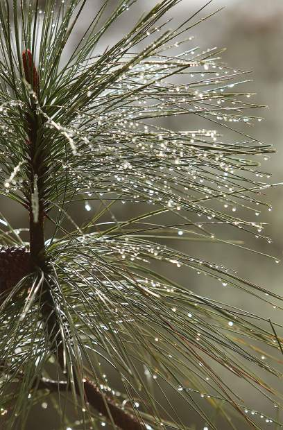 Rain drops collect on the needles of a pine tree in Alta Sierra following Tuesday morning's precipitation event which dropped about .5 inches of rain during a 24 hour period.