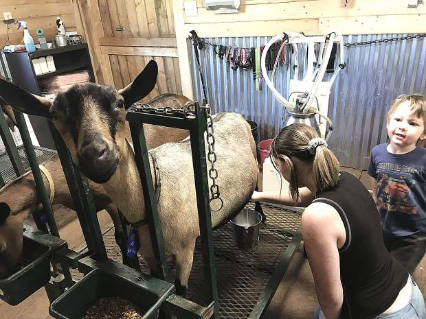 The adventure begins in the milking parlor, where the does are brought in two to three at a time. Shannon and Steve introduce you to each goat by her name and tell you a little something about each one's personality.