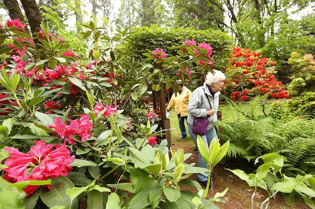 Hundreds of people took part in 26th annual Spring Garden Tour hosted by Soroptimist International of the Sierra Foothills over the weekend. Folks got the chance to tour 6 different Nevada County gardens including that of Jean, Jay, and Chad Ruland's Meadow Drive property that claims to have 80 rhododendrons.