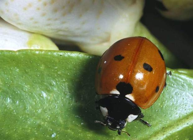 An abundant aphid population may be kept at bay with lady beetles (also known as lady bugs), such as this adult Sevenspotted Lady Beetle, or other beneficial insects.