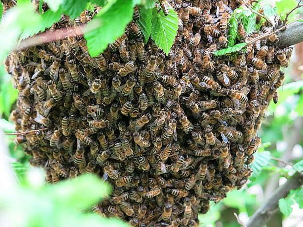 Honey bee swarms are in the season of looking for a new home.