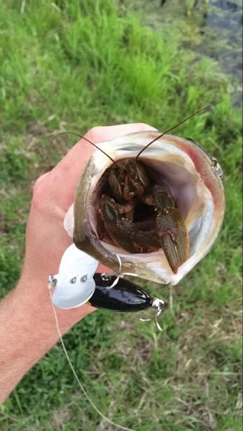 Tell-tale signs that they're doing well are bits of crawdad shell the bass have coughed up when he has them in the live well of his boat.