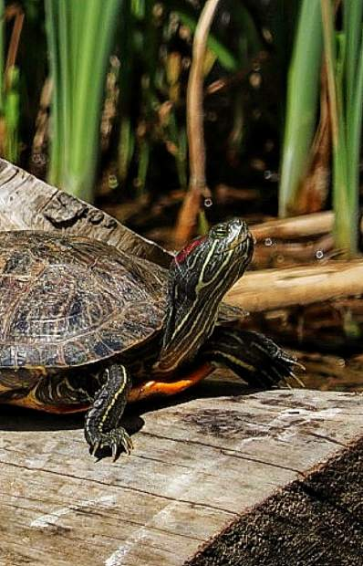 Red eared slider turtle soaking in the sun rays.