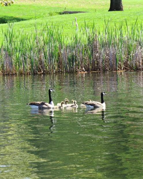 Mom and Dad with their six goslings at Lake of he Pines.