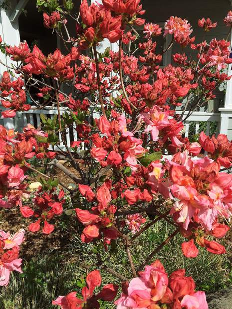 Eye popping Sun Azaleas display their vivid colors in Eskaton Village!