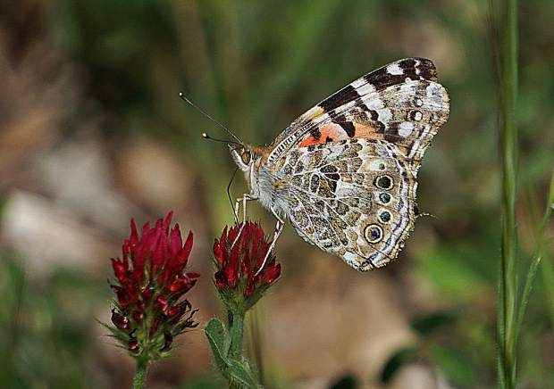 In the past few days there has been a noticeable migration of painted lady butterflies in the area; part of their great exodus from Southern California and this year's super bloom in the desert areas.  These shots were taken on Banner Ridge where the butterflies were passing over on their way north, pausing to refuel on some clover blossoms.