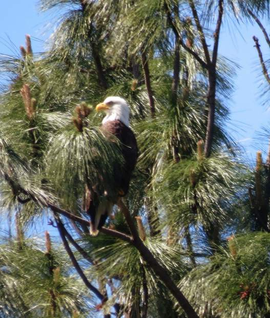 Bald Eagle in a tree out by another golf course not far from Lake of the Pines.