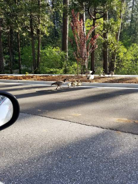 Canadian geese family stops traffic on Brunswick Road.