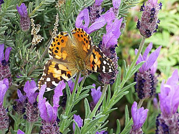 Painted Lady butterfly.