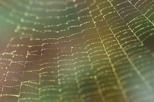 Pollen collected on a spider's web, showcasing the delicate structure.