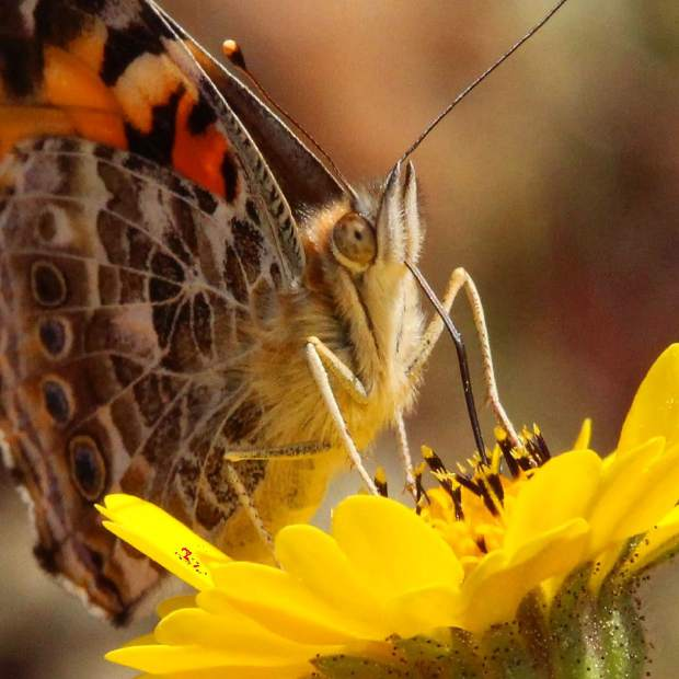 A painted lady butterfly gathering pollen in Grass Valley.