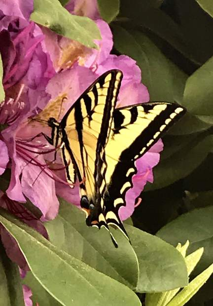Yellow Tiger Swallowtail butterfly on the Rhododendrons in my garden.
