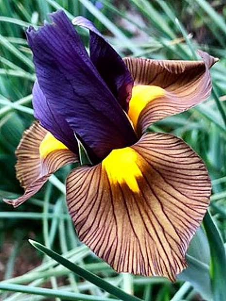 Dutch Iris emerging bloom.
