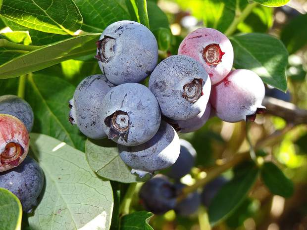 """Blueberries are literally the best kind of """"fast food."""""""