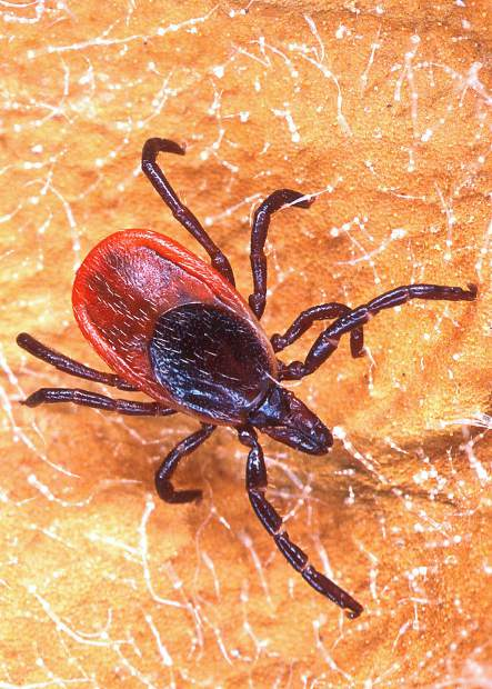 Ticks, including the black legged tick, often gain access through pant legs or shirttails and crawl up looking for a place to settle in and feed.