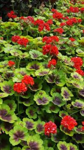 Ann Wright: Geraniums, the bright stars of summer