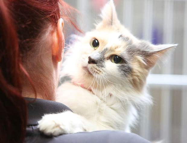 Peaches is a ten years young dilute calico that is very affectionate, wants to be loved, and wants to give you hugs and cuddles. She is available for adoption from the Grass Valley Animal Shelter off of Freeman Lane.