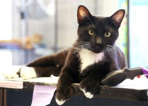 PET OF THE WEEK: Spanx the Manx
