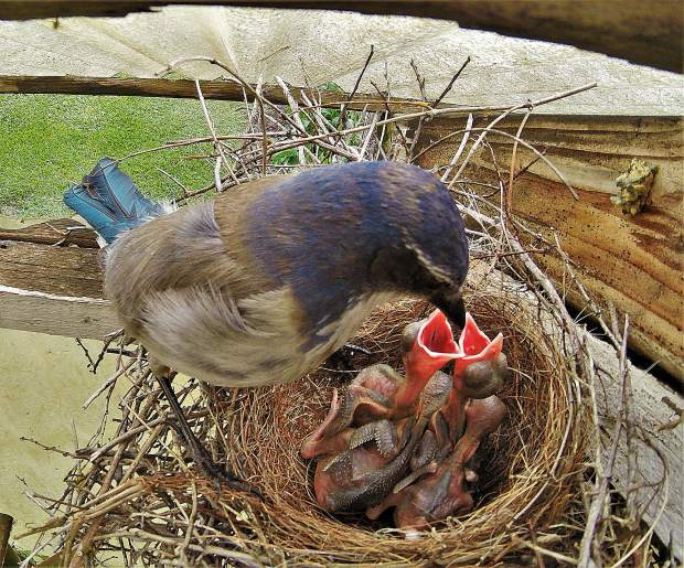 Momma Blue Jay tending to her babies.