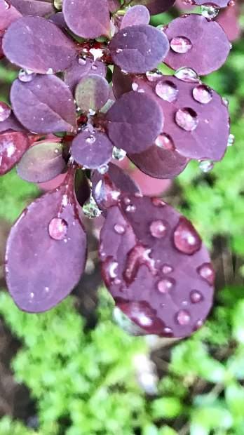 Rain drops on flowers after a thunder storm at Lake of the Pines.