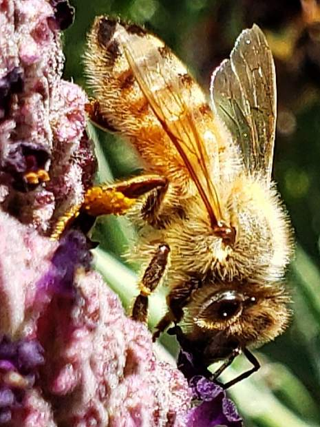 Bee gathering nectar from lavender blooms.