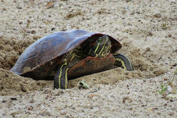 A turtle laying eggs at one of the parks here at Lake of the Pines.