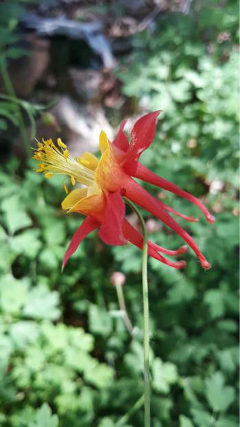 Can't get enough of the Spring Columbine in a Chicago Park yard.