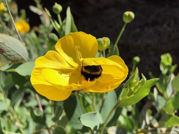 Bee siting in a flower, spotted while hiking the Stevens Trail in Colfax.