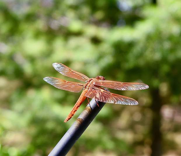 Dragonfly on my Subaru antenna.