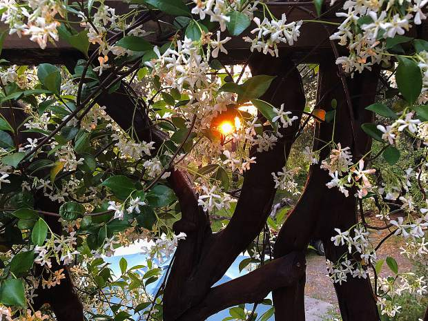 My Starjasmine freaking out on my deck at sunset last night (June 11) in Rough and Ready. You can almost smell it from the photograph!