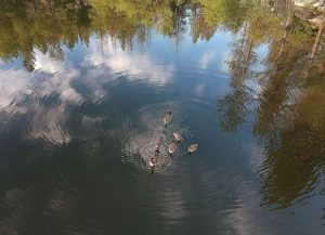 Nevada County Captures: Water fowl