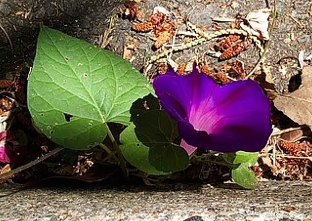 First curbside Morning Glory.