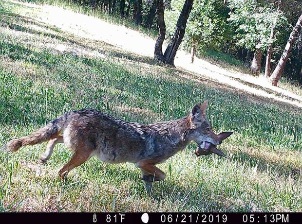 A coyote caught a meal off Indian Shack Road in Nevada City, in this image captured by a field camera.