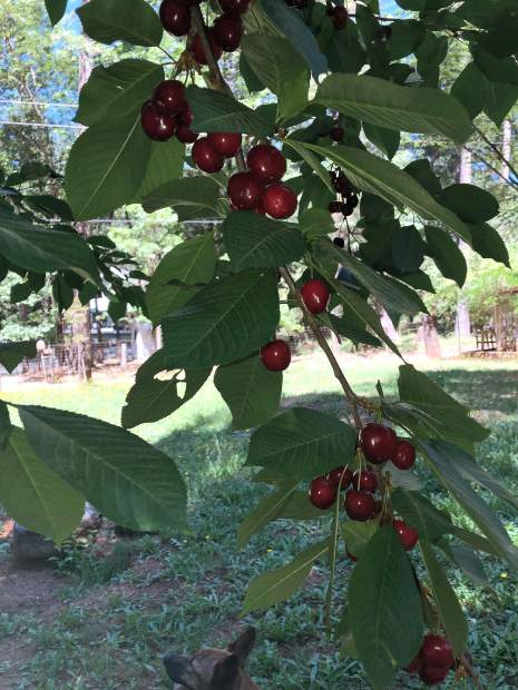 Cherries in Chicago Park. Better pick them before the birds get them all!