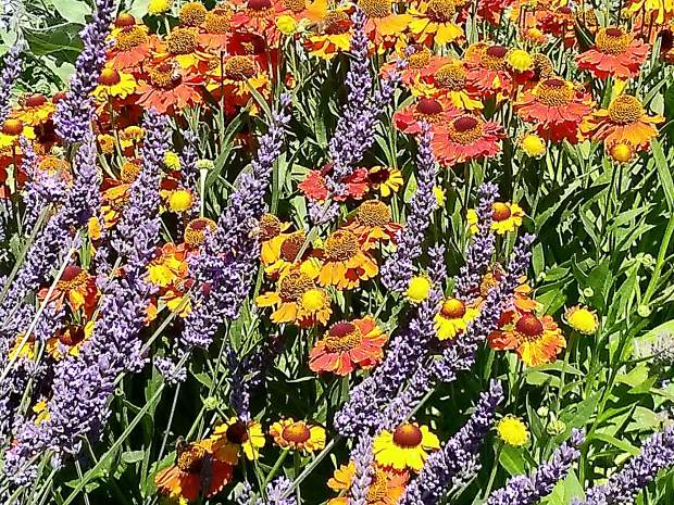 Lavender and helenniums at bring color to Riverhill Farm.