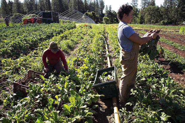 Besides BriarPatch Co-op and the Nevada City Farmers Market, Mountain Bounty Farm grows food for 550 CSA members on 18 acres in cultivation — that's 300 boxes of food delivered in Tahoe/Reno/Truckee and 200 more in Nevada City and Grass Valley.