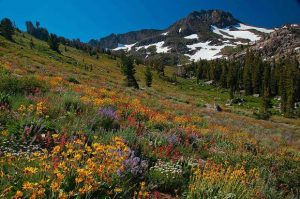 Fireside Chats: Bear Yuba Land Trust hosts 'Wildflowers of the High Sierra' with Julie Carville
