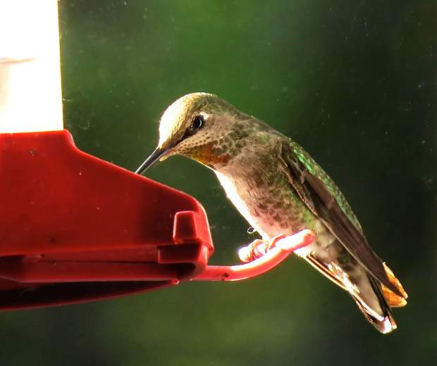 Humming bird drinking from the feeder on a window here at Lake of the Pines.