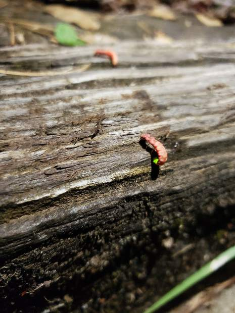 Nevada County captures - glow worm on the move.