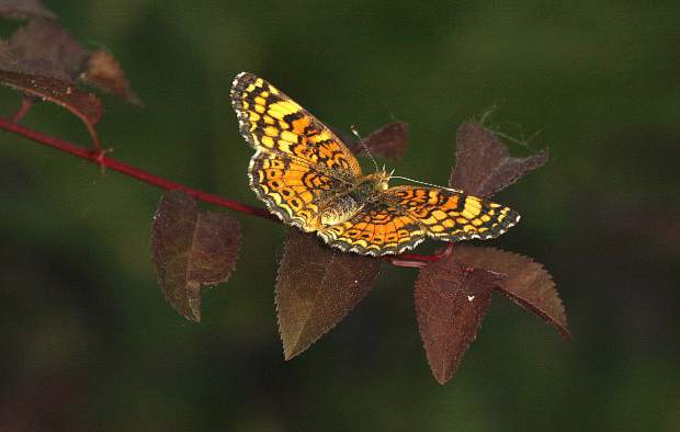 A brightly colored crescent butterfly.