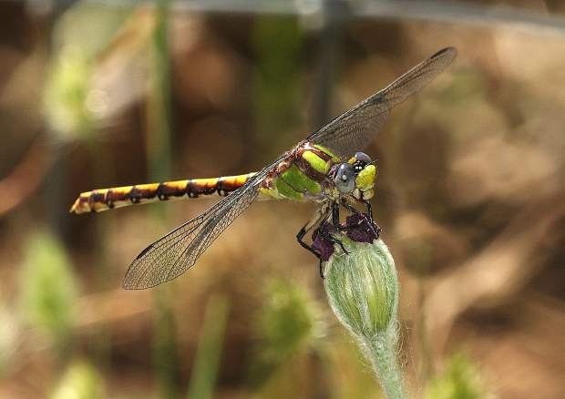 A colorful dragonfly pausing for a rest