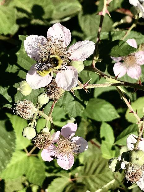 Wild bees and berry bushes along Litton Trail in Grass Valley.
