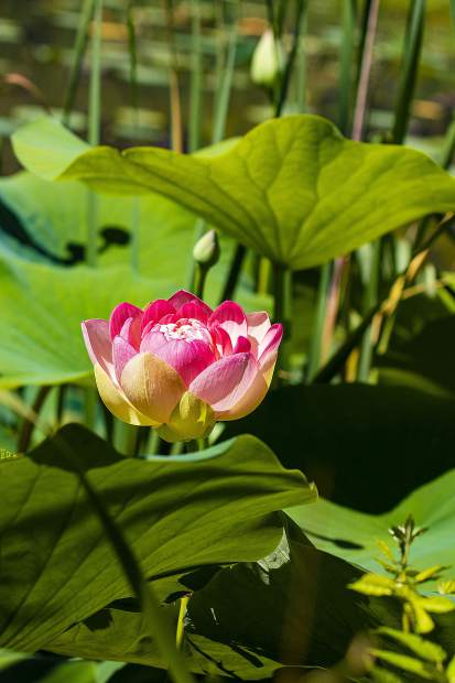 The Lotus are starting to bloom in the