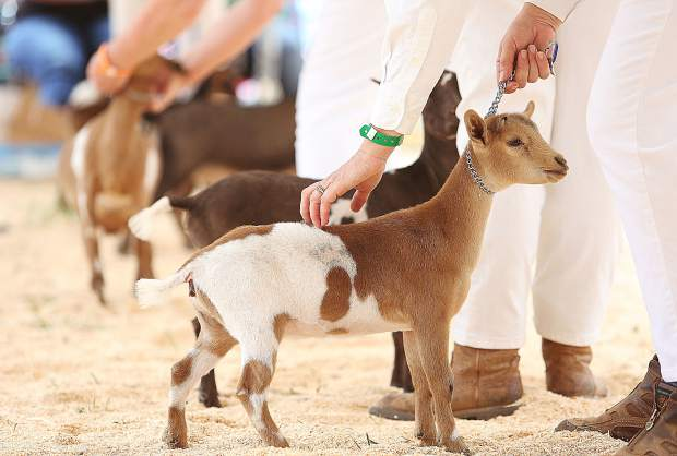 Young Nigerian Dwarf dairy goats await judging at the goat show ring of the Nevada County Fair.