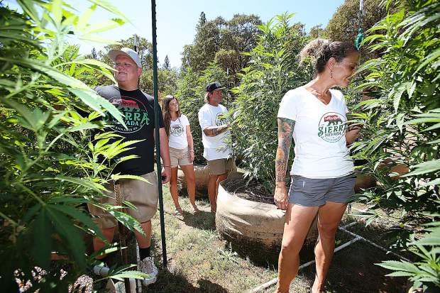 Members of the Sierra Nevada Cannabis Co. inspect the progress of their plants from their legal Nevada County grow. Look for more of their story in the upcoming Cannabis publication inserted in the Sep. 5th issue of The Union.